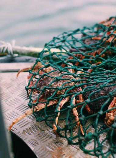 Araignées de mer pêchées en direct à Noirmoutier avec Noël